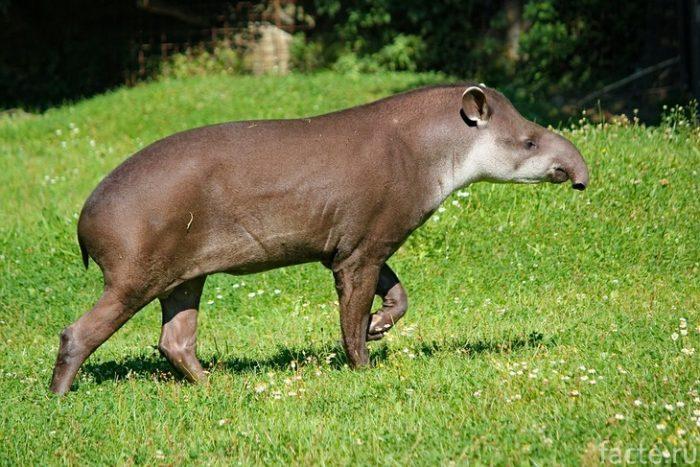 тапир в природе