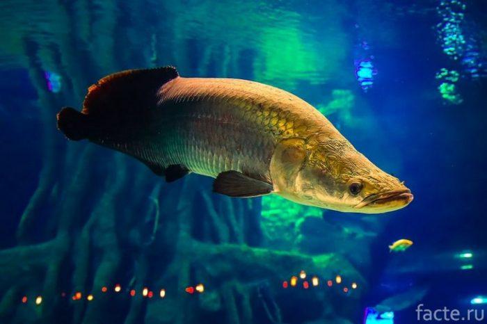 Арапаима рыба