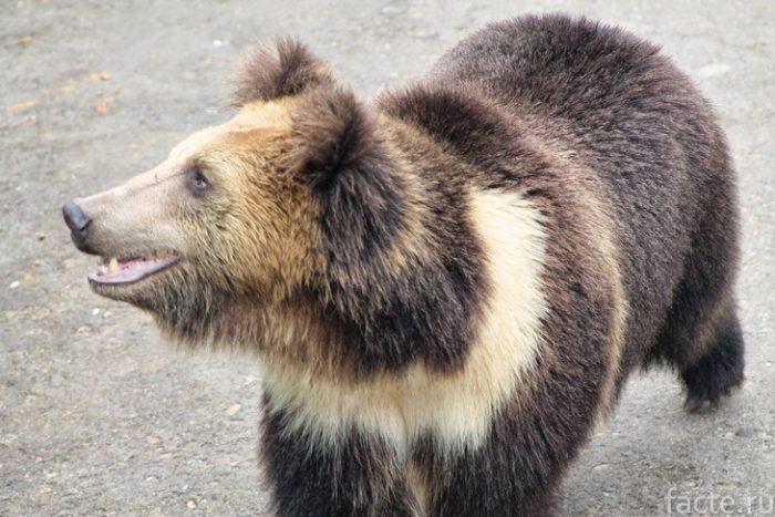 Тибетский бурый медведь