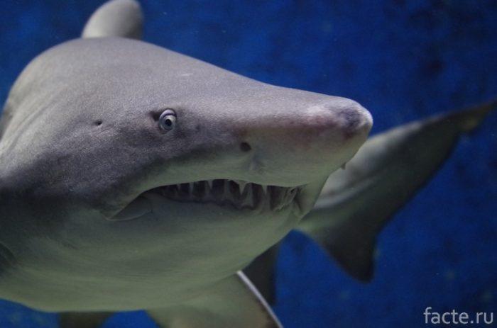 акула челюсть