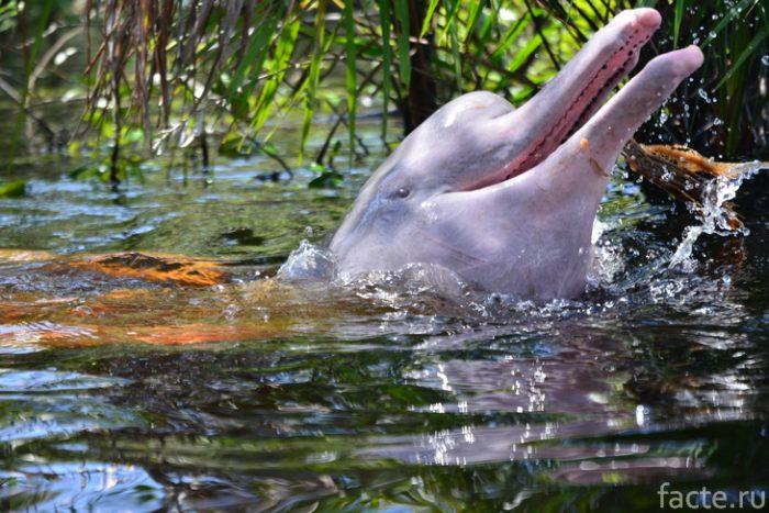амазонкий дельфин