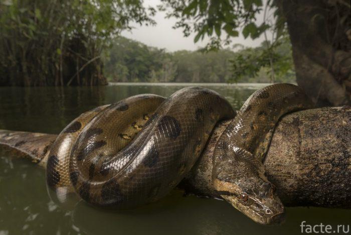 анаконда амазонка
