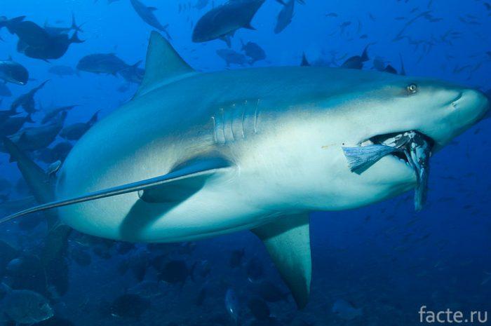 бычья акула