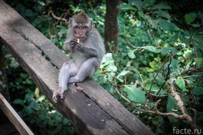 обезьяна бали