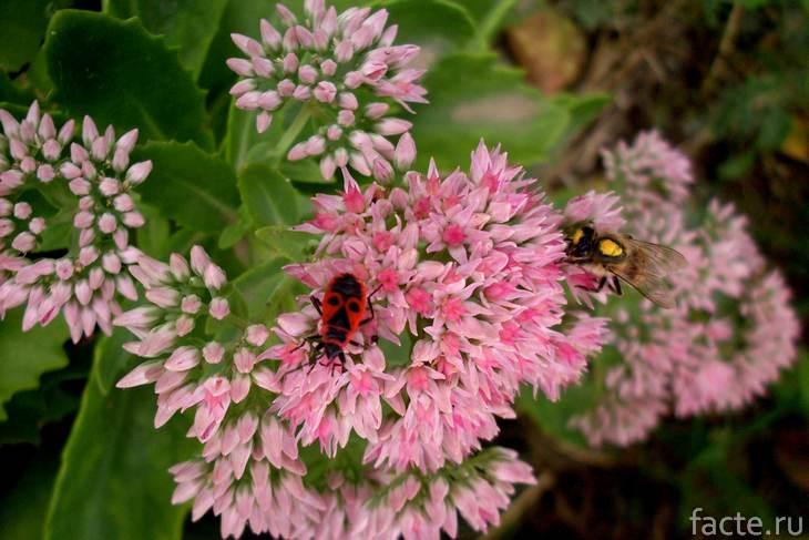 седум и насекомые