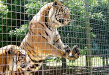 тигры в зоопарке