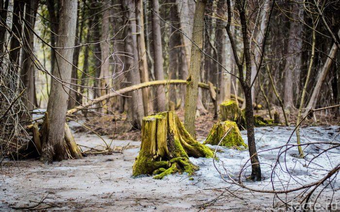 деревья и пни