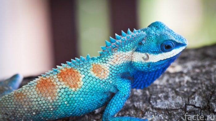 голубая игуана