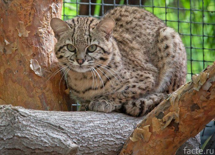 кошка Жоффруа зоопарк