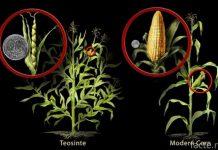 кукуруза в прошлом