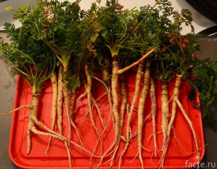 морковь корнеплод