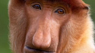 нос обезьяны