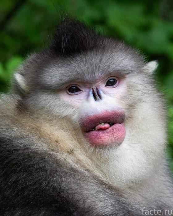 обезьяна показывает язык