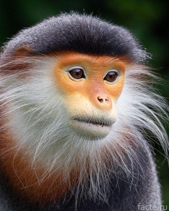 портрет обезьяны близко