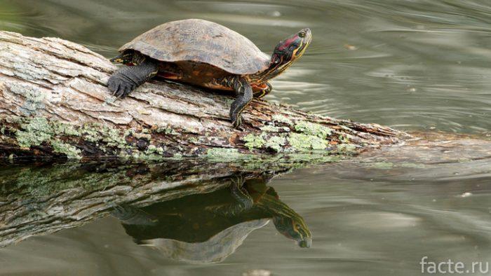 речная черепаха