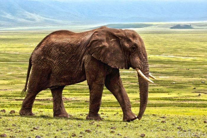 слон африка