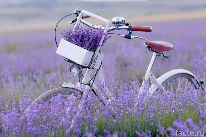 велосипед и лаванда