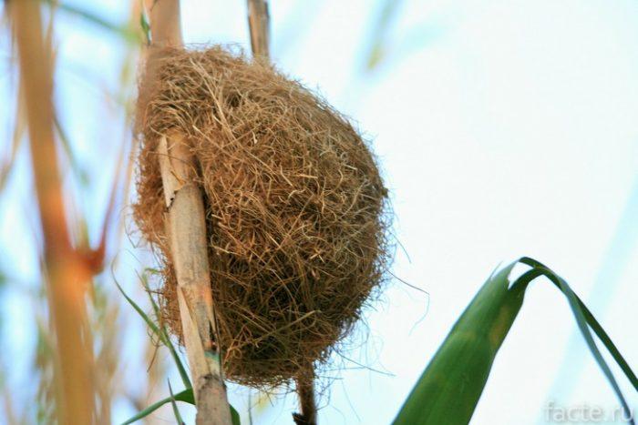 гнездо ткачей