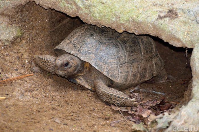 гофрар черепаха