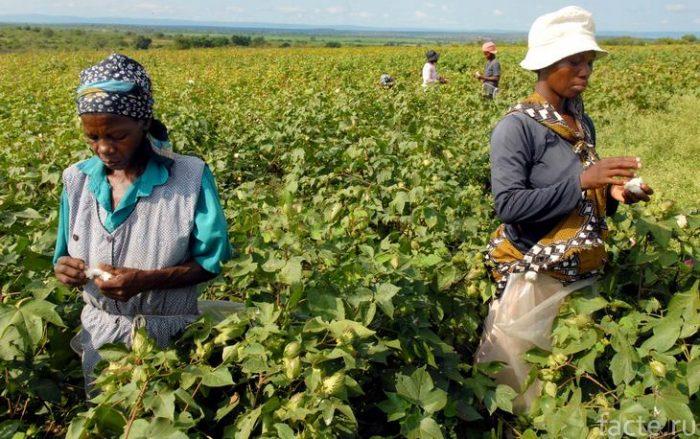 сельское хозяйство эфиопия