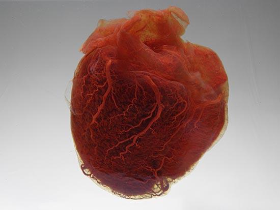 heart1 20 фактов о человеческом сердце