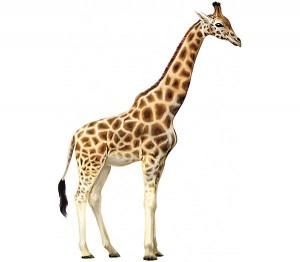 30 фактов о жирафах