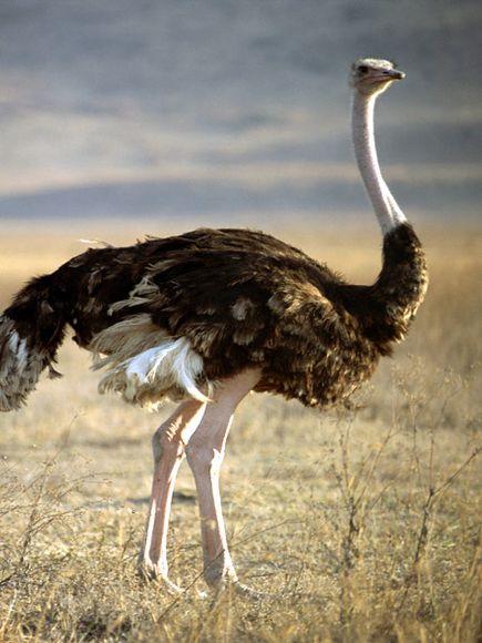 О том что страус самая большая птица в