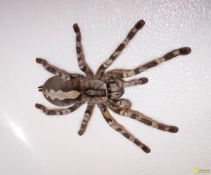 Как паукам удается натягивать паутину между двумя деревьями?