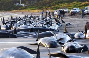 Почему киты и дельфины выбрасываются на берег?