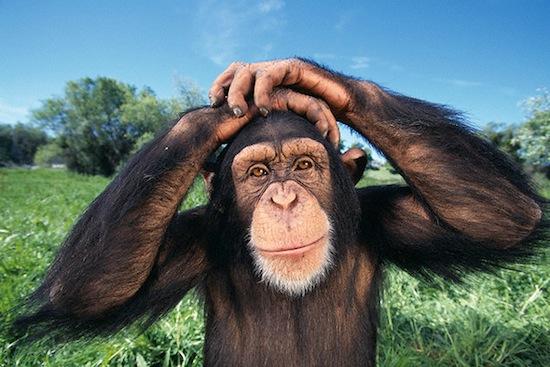Шимпанзе обладают врождённым чувством справедливости