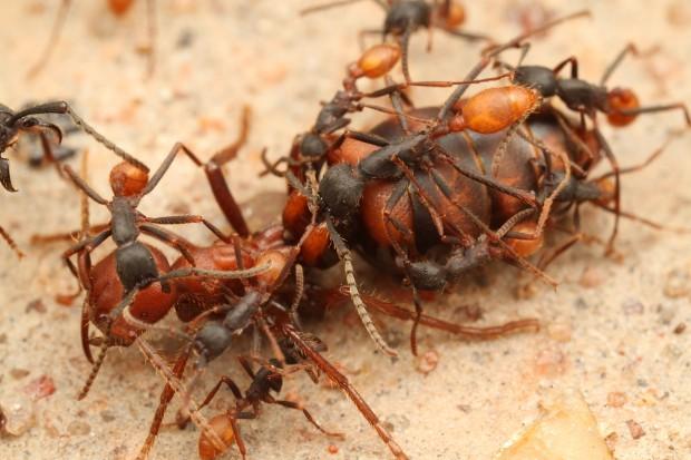 Царица муравьёв способна прожить 20 30 лет