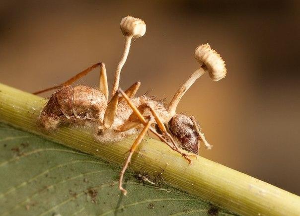 Аскомикотовый гриб рода Кордицепс превращает муравьев-древоточцев в зомби