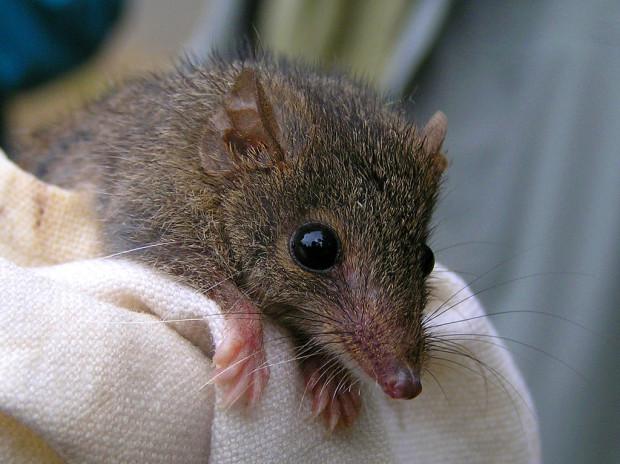 Сумчатые мыши занимаются сексом, пока не умрут
