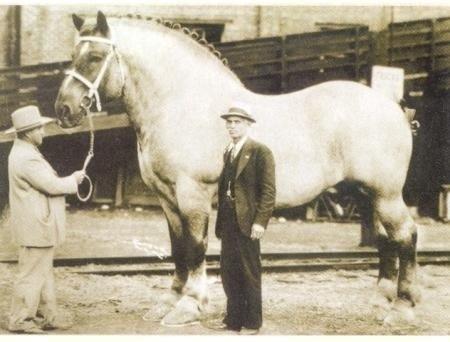 В 1983 году была зафиксирована самая крупная лошадь