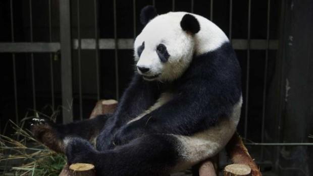 Гигантская панда притворилась беременной, чтобы получать больше внимания, фруктов и булочек