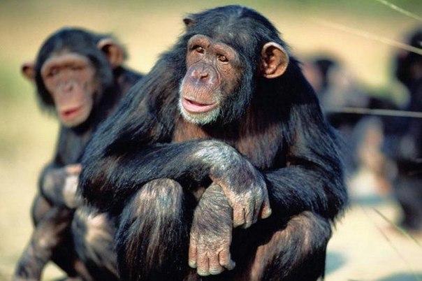 Деньги разлагают даже обезьян