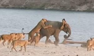 14 львов напали на слоненка, отбившегося от стаи