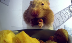О том, как в хомяка влезает столько еды
