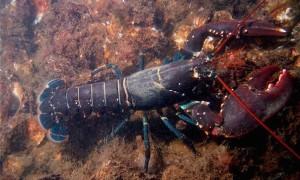 Бессмертные омары