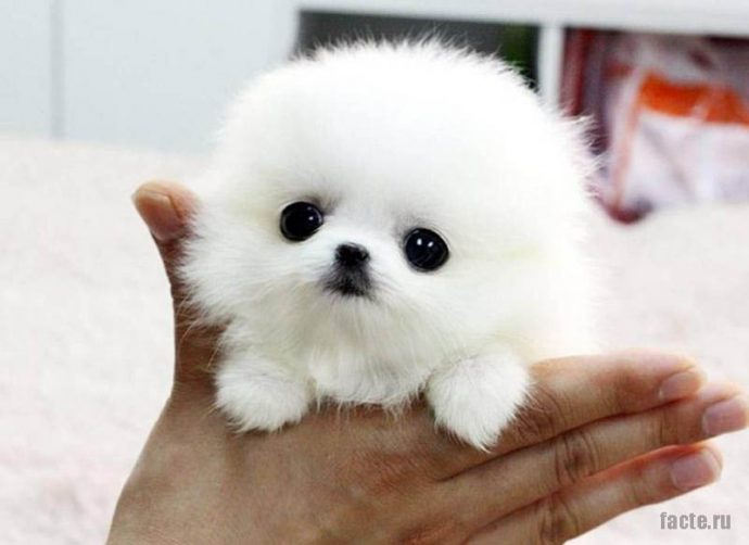 породы и цены самых маленьких собак фото